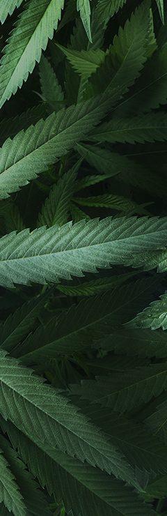 20200821 Cannabis Guide Textures Cannabis